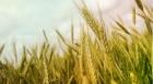 الطفيلة انخفاض انتاجية المحاصيل الحقلية لأدنى مستوياتها