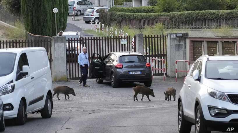الخنازير البرية تقتحم العاصمة الإيطالية